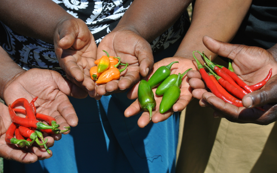 Organic chillis produces at inclusive business Black Mamba