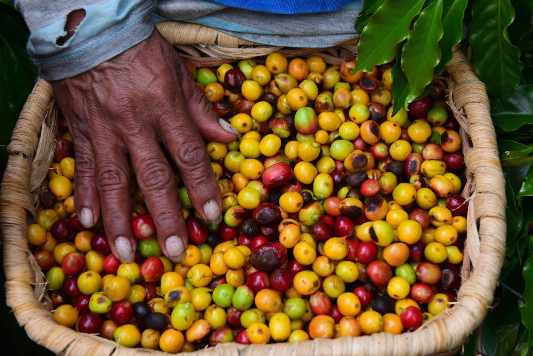 Supracafe cover image, hand in basket of colorful coffee cherries