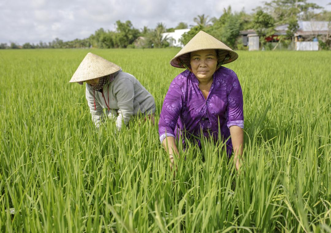 Two women working on a rice field on East Asia