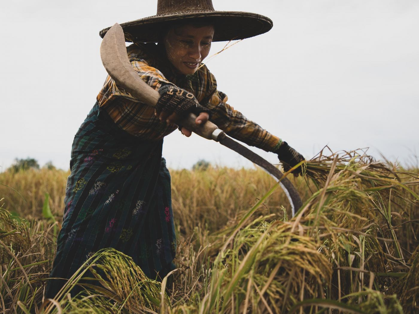 Woman harvesting rice